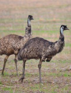 emu australian birds
