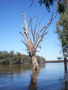 Murray River Flood 2011 Euston